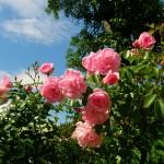 Rosen können in verschiedenen Farben blühen.