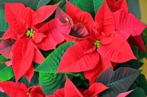 Weihnachtssterne sind beliebte Zimmerpflanzen.
