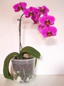 Orchideen brauchen spezielle Pflege.