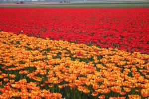 Tulpen werden überwiegend in den Niederlanden gezüchtet.