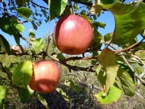 Apfelbäume sind sehr beliebt.
