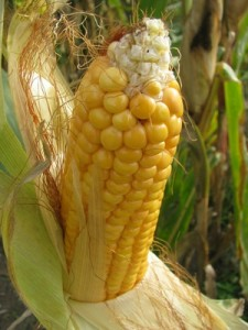 Mais ist eine Pflanze, die zum Verzehr angebaut wird.