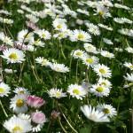 Essbare Blumen verschönern jedes Essen.