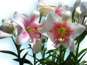 Lilien sind beliebte Zierpflanzen.