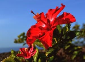 Hibiskusblüten sind beliebte Zierpflanzen.